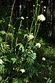Cephalaria gigantea 4.jpg
