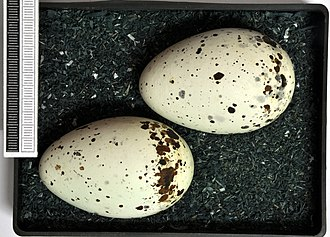 Black guillemot - Eggs, Collection Museum Wiesbaden, Germany