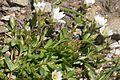 Cerastium cerastoides (Dreigriffel-Hornkraut) IMG 9022.jpg