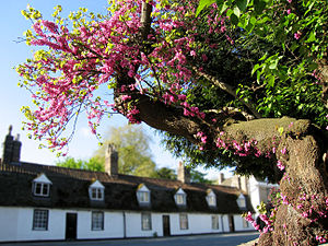 The Judas tree (Cercis siliquastrum) often bea...