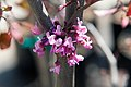 Cercis canadensis Forest Pansy 16zz.jpg