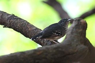 Mato Grosso antbird - In Mato Grosso do Sul, Brazil