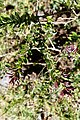 Cestrum buxifolium (Solanaceae) (44106287070).jpg