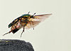 Cetonia aurata take off 05 05172009.jpg