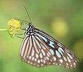 Ceylon Blue Glassy Tiger - Ideopsis similis - 琉球浅葱斑(リュウキュウアサギマダラ) (8905807649).jpg
