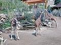 Ch mtn zoo giraffes 2003.jpg
