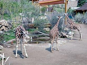 Cheyenne Mountain Zoo - Three members of the zoo's large giraffe herd