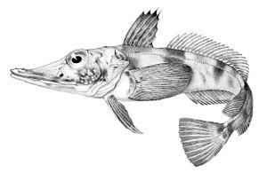 Bransfield Strait - Blackfin Icefish