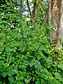 Chaerophyllum temulum plant (07).jpg