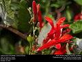 Chalcid wasp (Chalcididae, Conura amoena) (30839284151).jpg