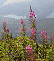 Chamerion angustifolium on Black Mountain.jpg