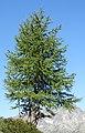 Chamonix - tree.jpg