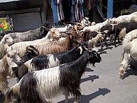 Changthangi goats in Manali.jpg