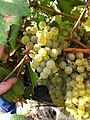 Chardonnay clusters.JPG