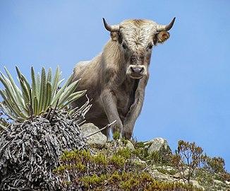 Charolais cattle, Sierra Nevada, Venezuela.jpg