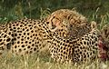 Cheetah, Acinonyx jubatus, at Pilanesberg National Park, Northwest Province, South Africa. (26977243163).jpg