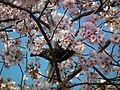 Cherry Blossom DC 2014 (13914279980).jpg