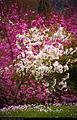 Cherry blossom (3758690348).jpg