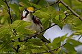 Chestnut-sided Warbler (male) Sabine Woods TX 2018-04-28 07-10-59 (41300159405).jpg