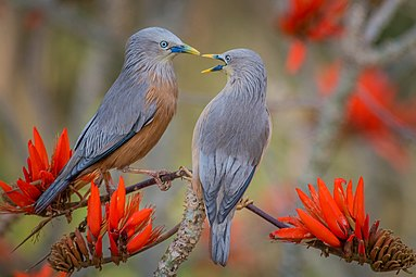Chestnut-tailed Starling কাঠ শালিক.jpg