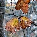 Chestnut Oak (30933182762).jpg