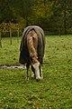 Cheval solitaire avec couverture (22839236171).jpg