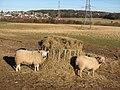 Cheviot sheep - geograph.org.uk - 329997.jpg