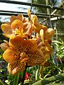 Chiang Mai Orchids P1110352.JPG