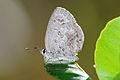 Chilades laius koshuensis ventral view 20150105.jpg