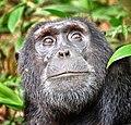 Chimpanzee, Kibale, Uganda (17893429069).jpg