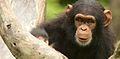 Chimpanzee VI (13945312322).jpg