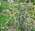 Chinese Bitter Orange - Poncirus trifoliata.jpg
