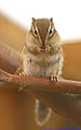 Chipmunk 2 by Keven Law.jpg