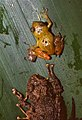 Chiriqui Robber Frog (Pristimantis cruentus)(Bottom) and unidentified Tree Frog (Top) found in a fallen Bromeliad after a storm ... (36622510271).jpg