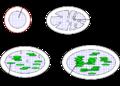 Chloroplast de.png