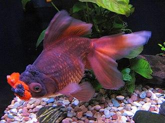 Pompom (goldfish) - Image: Chocolate Oranda with Red pompoms 2