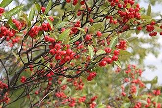 Aronia - Red chokeberry (Aronia arbutifolia)