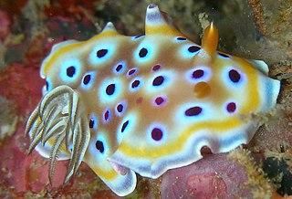<i>Goniobranchus geminus</i> species of mollusc