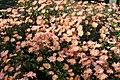 Chrysanthemum Dee Samba 4zz.jpg