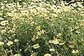Chrysanthemum coronarium pm.jpg