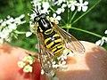 Chrysotoxum cautum (Syrphidae) - (female imago), Elst (Gld), the Netherlands.jpg