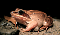 Chubby Wood Frog, closer (6194333070).png