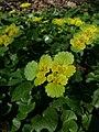 Chysosplenium alternifolium.jpg