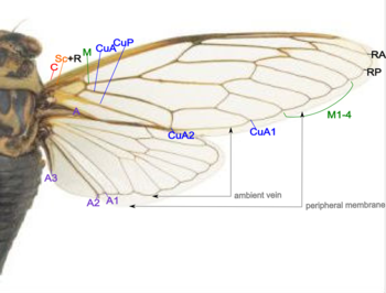 Cicada wing structure.png
