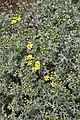 Cineraria lyrata (Compositae) (6932203373).jpg