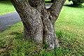 Cinnamomum camphora in Auckland Botanic Gardens 03.jpg