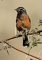 Cinnamon-breasted bunting, Emberiza tahapisi, at Pilanesberg National Park, Northwest Province, South Africa (28486792855).jpg