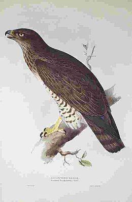 Circaetus gallicus gould.jpg