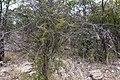 Circle bush - acacia tortilis (eventuellt)-2360 - Flickr - Ragnhild & Neil Crawford.jpg