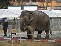 Circus Knie - Elephas maximus - Rapperswil - Südquartier 2013-03-22 15-48-32 (P7700).JPG